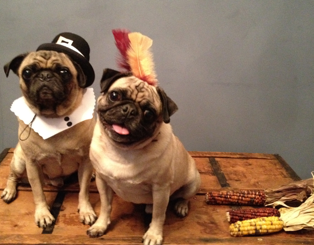 Diy pilgrim and indian dog costumes alana jones mann crafts diy projects fall holidays pugs thanksgiving solutioingenieria Images