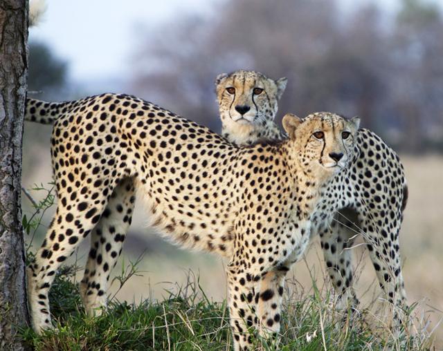 AFRICA_cheetahs_640