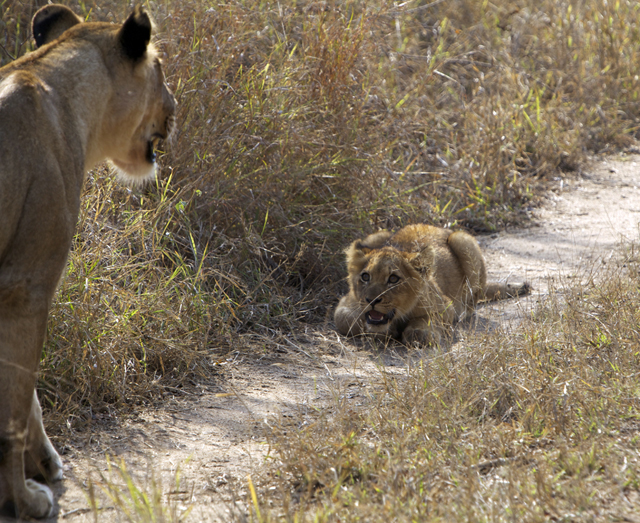 AFRICA_lioncub_640