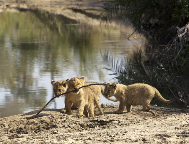 AFRICA_lioncubs_640