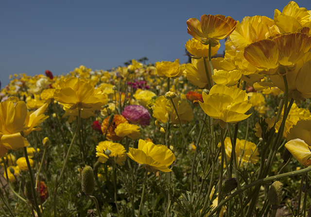 flower fields 2