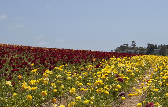 flowerfields6