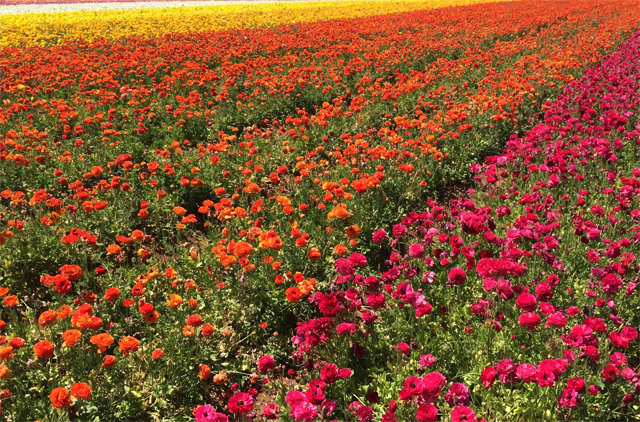 sd flower fields