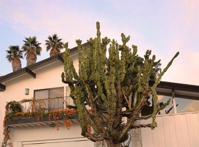 Cactus Palms