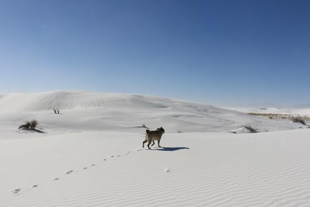Dune Pug