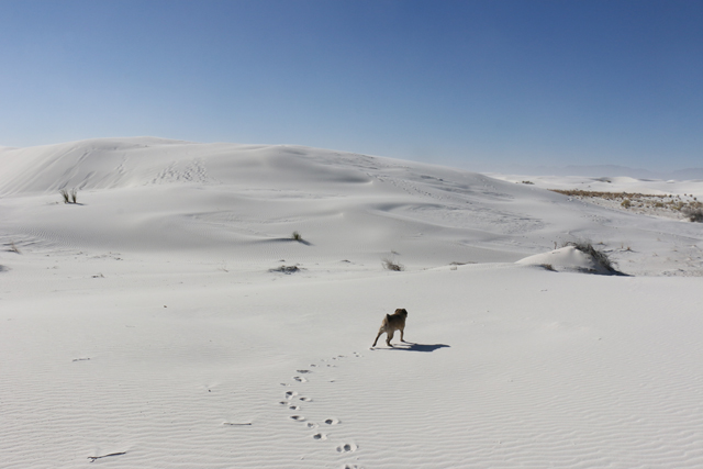 Pug in White Sands